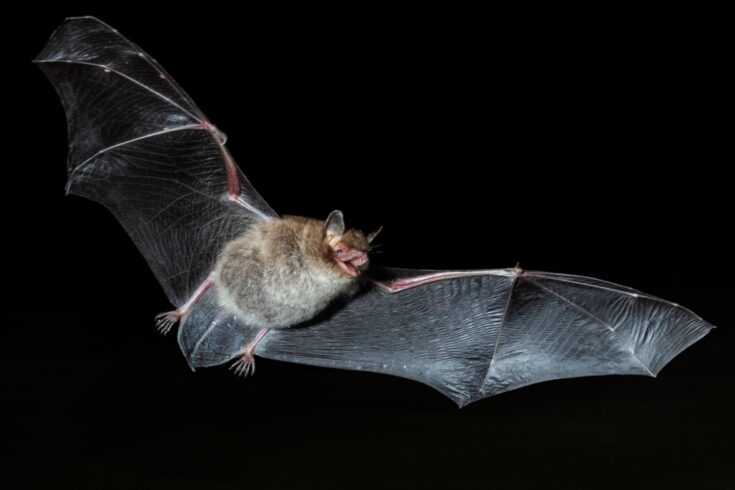 Bat in flight at night
