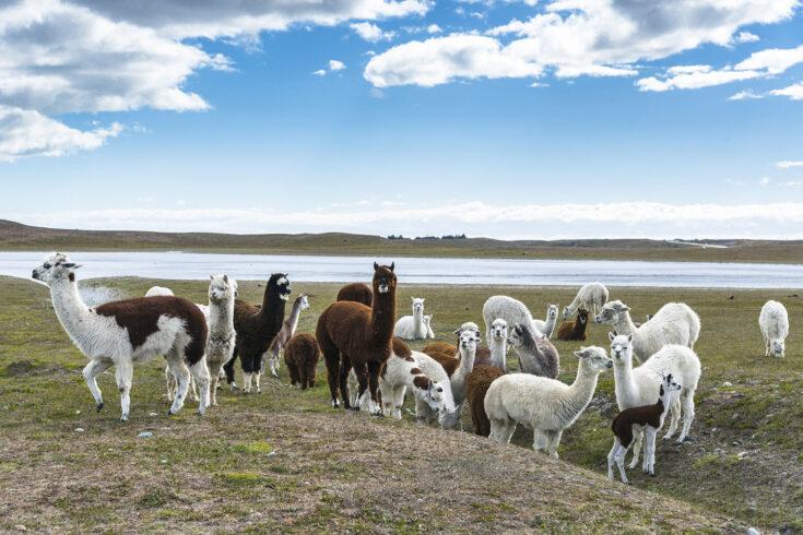 A herd of llamas