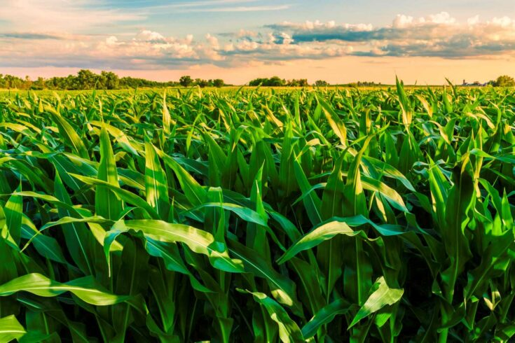 green cornfield ready for harvest