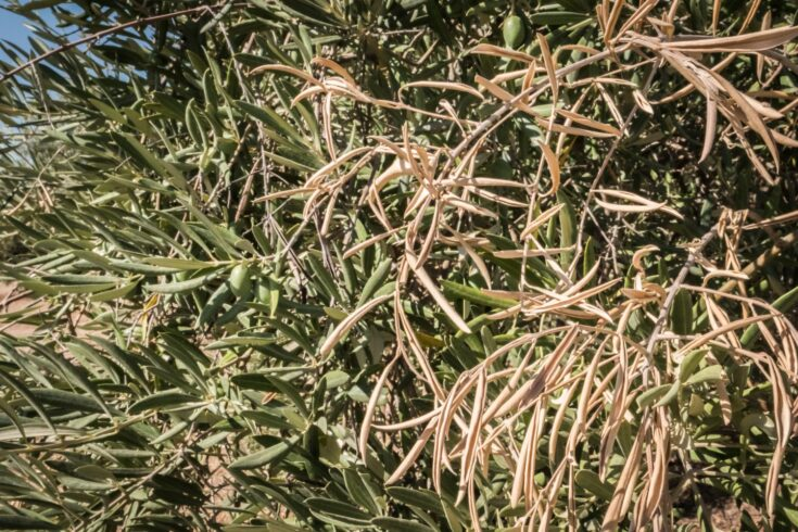 Olive trees infected by Xylella fastidiosa