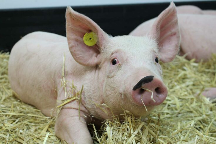 The Pirbright Institute pig in straw