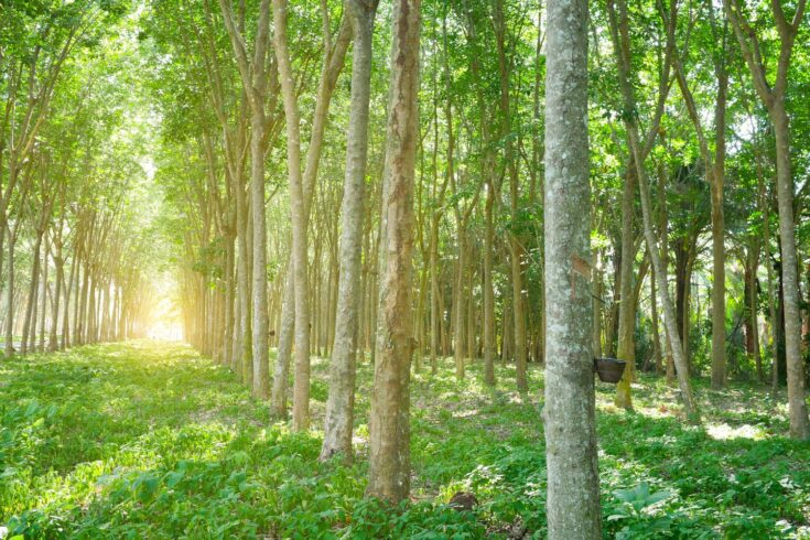 Rubber trees in forest