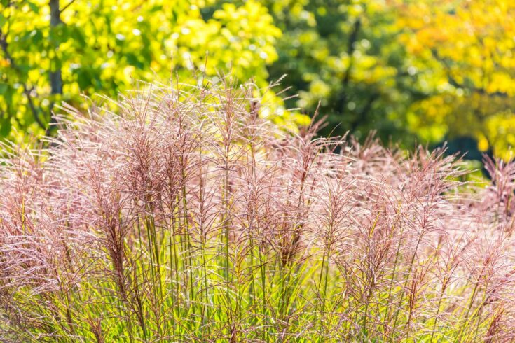 Pink flowers of miscanthus grass