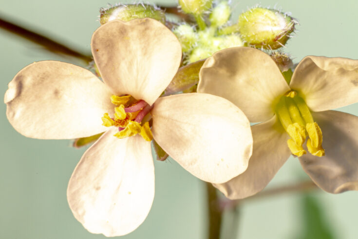 Arabidopsis thaliana illuminated with natural light in the field