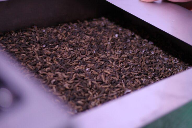 Black fly larvae