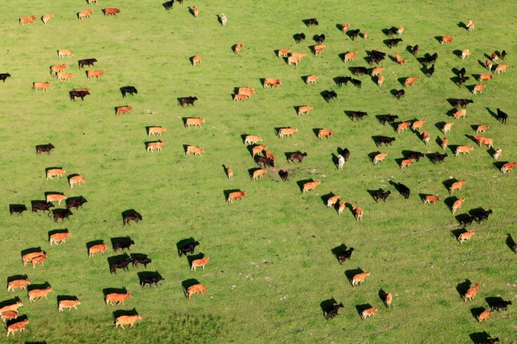 Aerial view of a large group of cattle in a field
