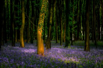 Wild bluebell woods in Somerset, UK