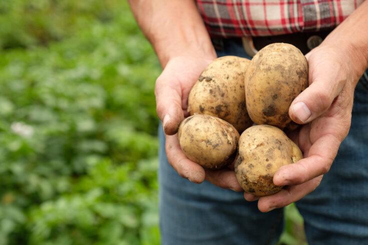 Farmer holding fresh raw potato