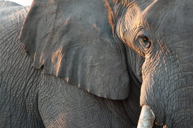 Close up view of partial face, African elephant