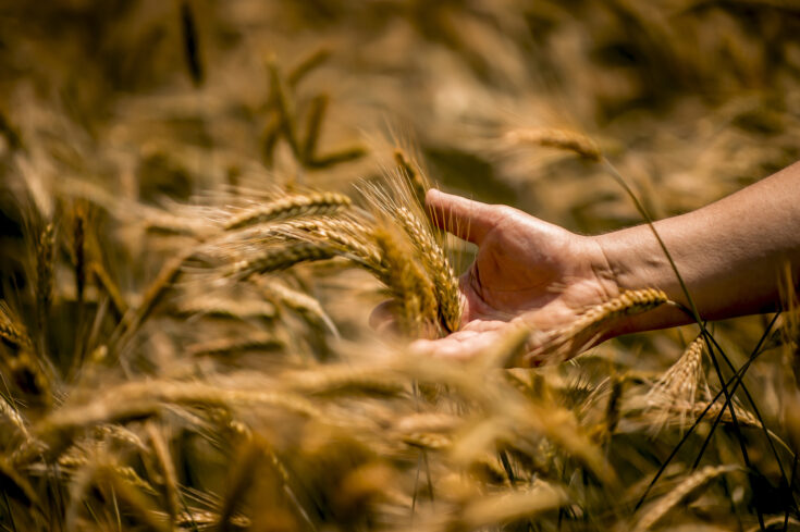 Farmer touching golden heads of wheat while walking through field
